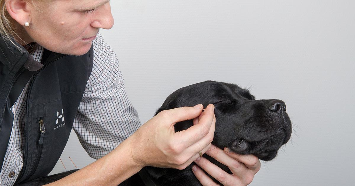 Akupunktur på hund