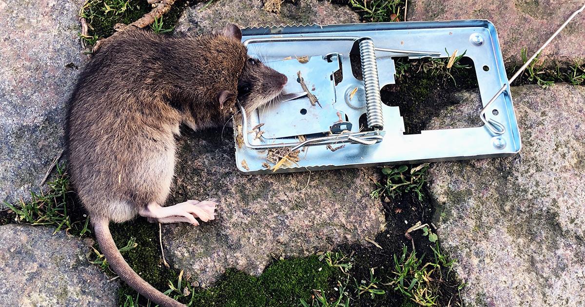 Rottekrigen – Dyrlægen