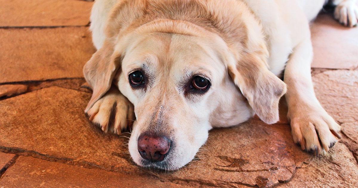 Fedme hos hund - Dyrlægen