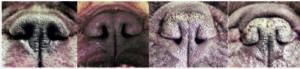 Nasal Grading Score - Bør der gribes ind over for avlen af franske bulldogs?