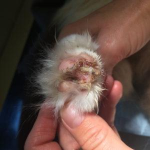 Figur 3 – Her ses tydeligt ulcerationer og kruster omkring klovolde hos kat med pemphigus (Foto: Lene Boysen).